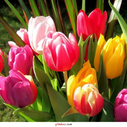 Тюльпаны являются универсальными
