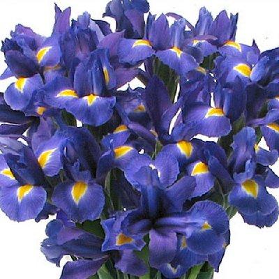 цветок ирис фото: